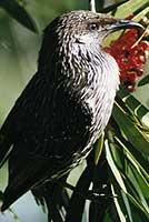Penola Bird - Greenrise Recreational Reserve