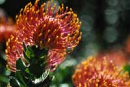 Native Flower from Millicent